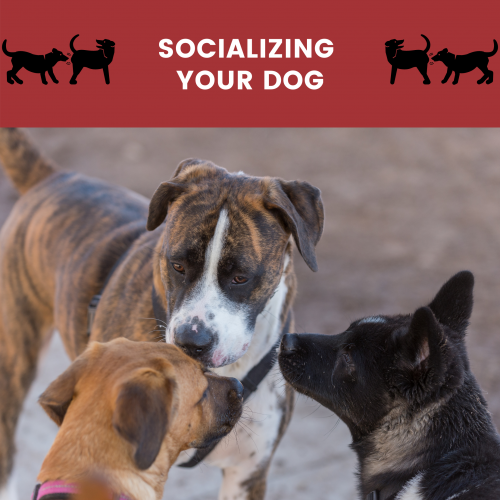socializing your dog